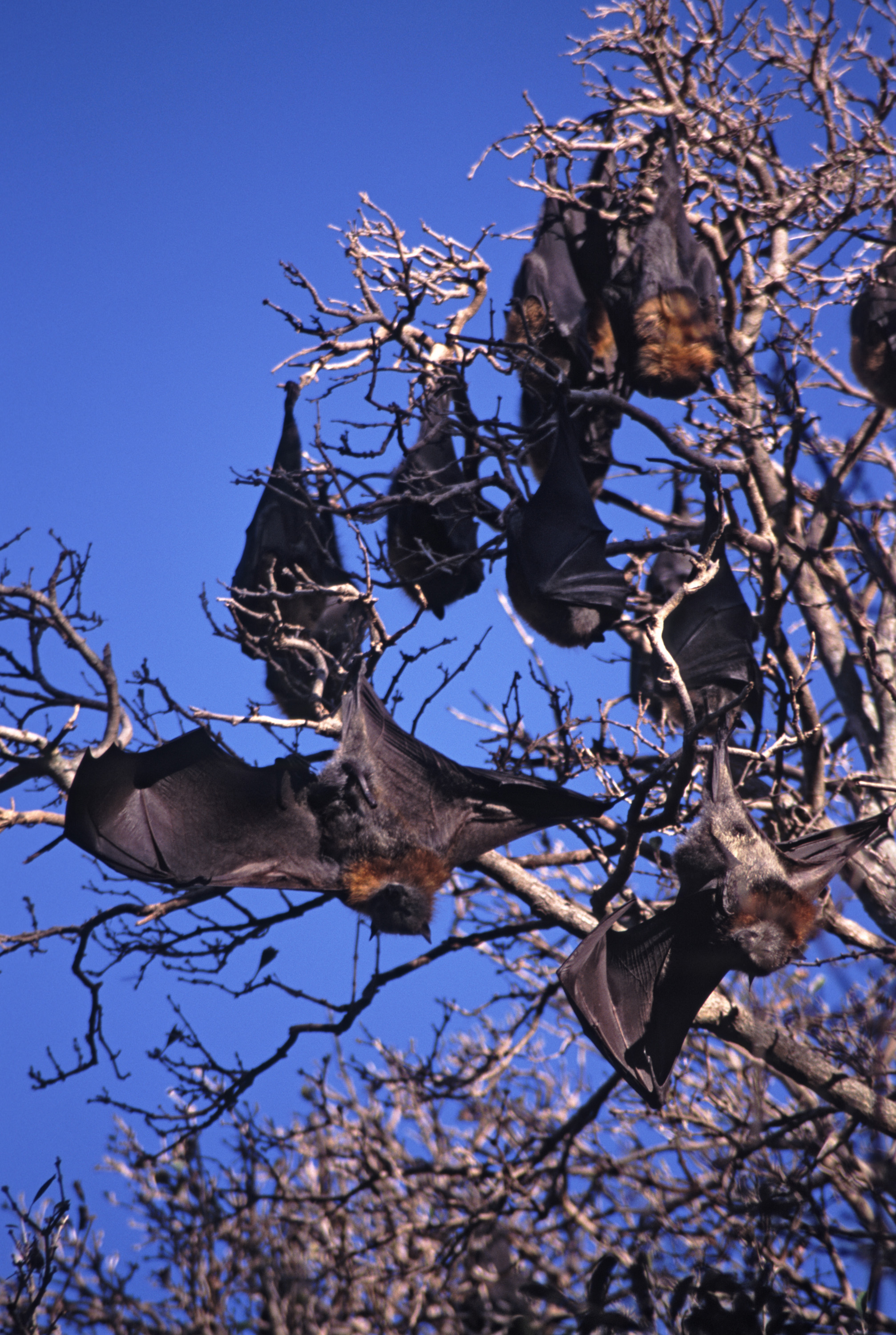 bats hanging in trees with a blue sky background