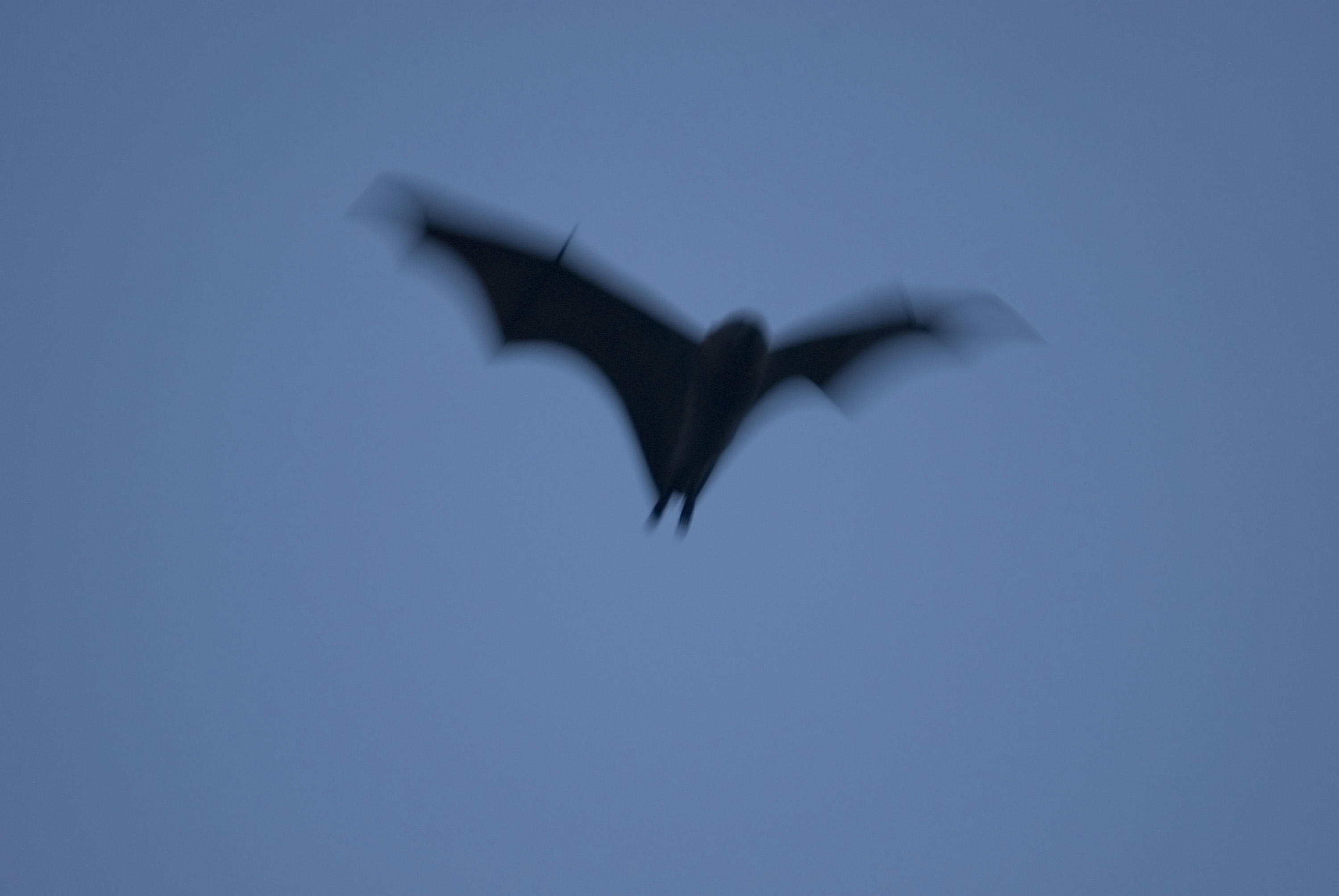 flying black bat with motion blur