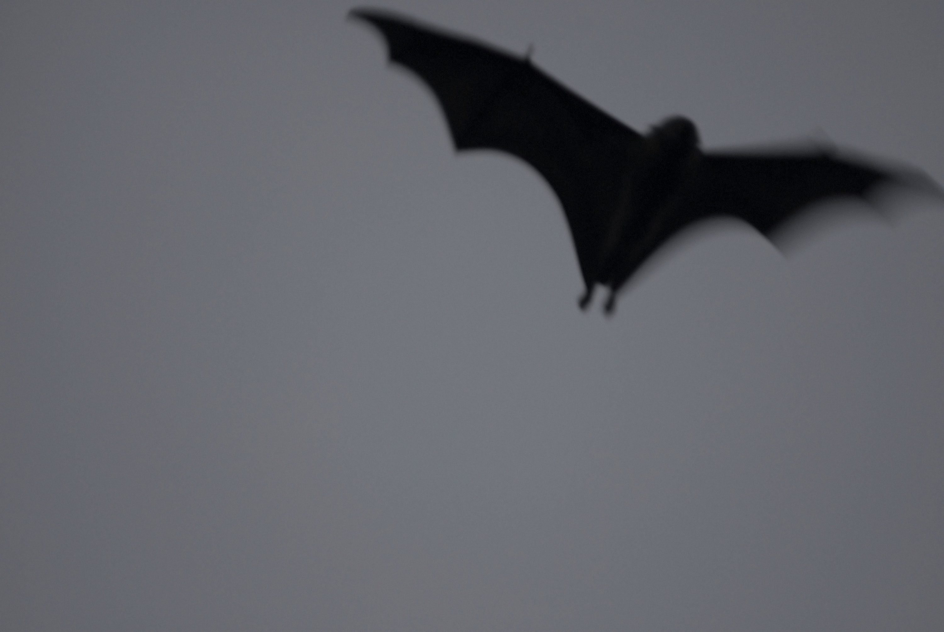 flying black bat silhouetted in the twilight sky