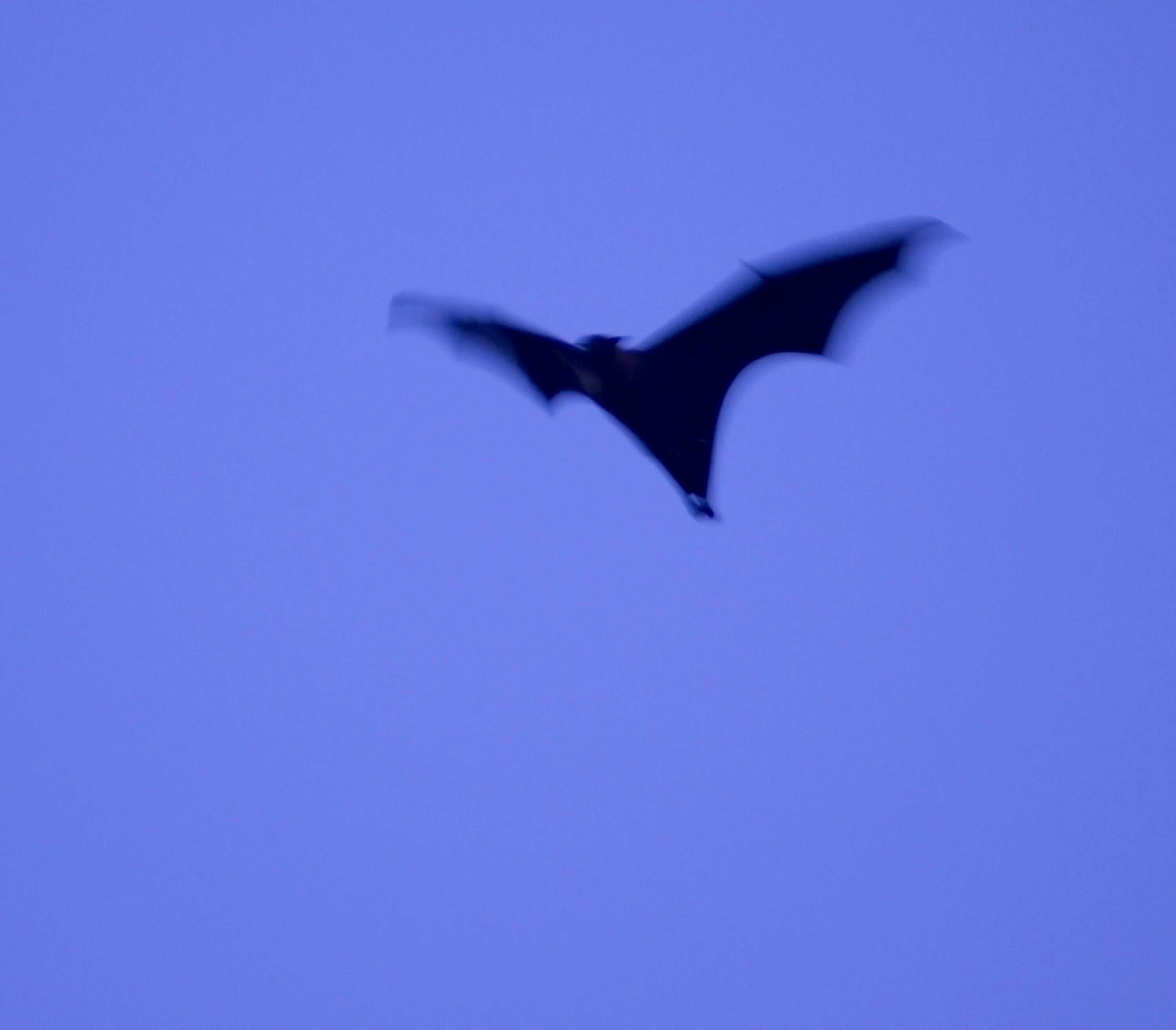 flying black bat with motion blur as it flaps its wings in the dusk sky
