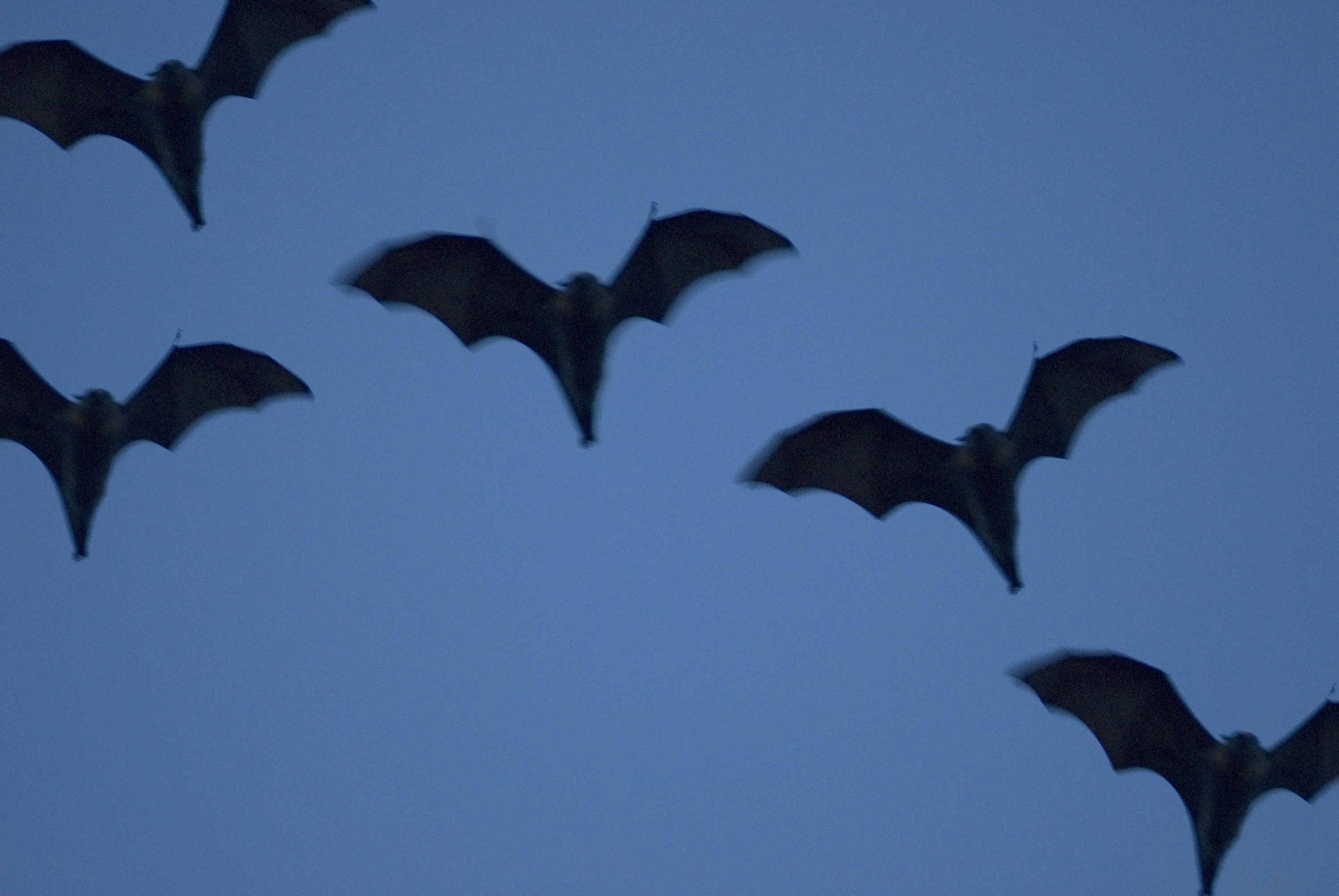 a cloud of bats in flight