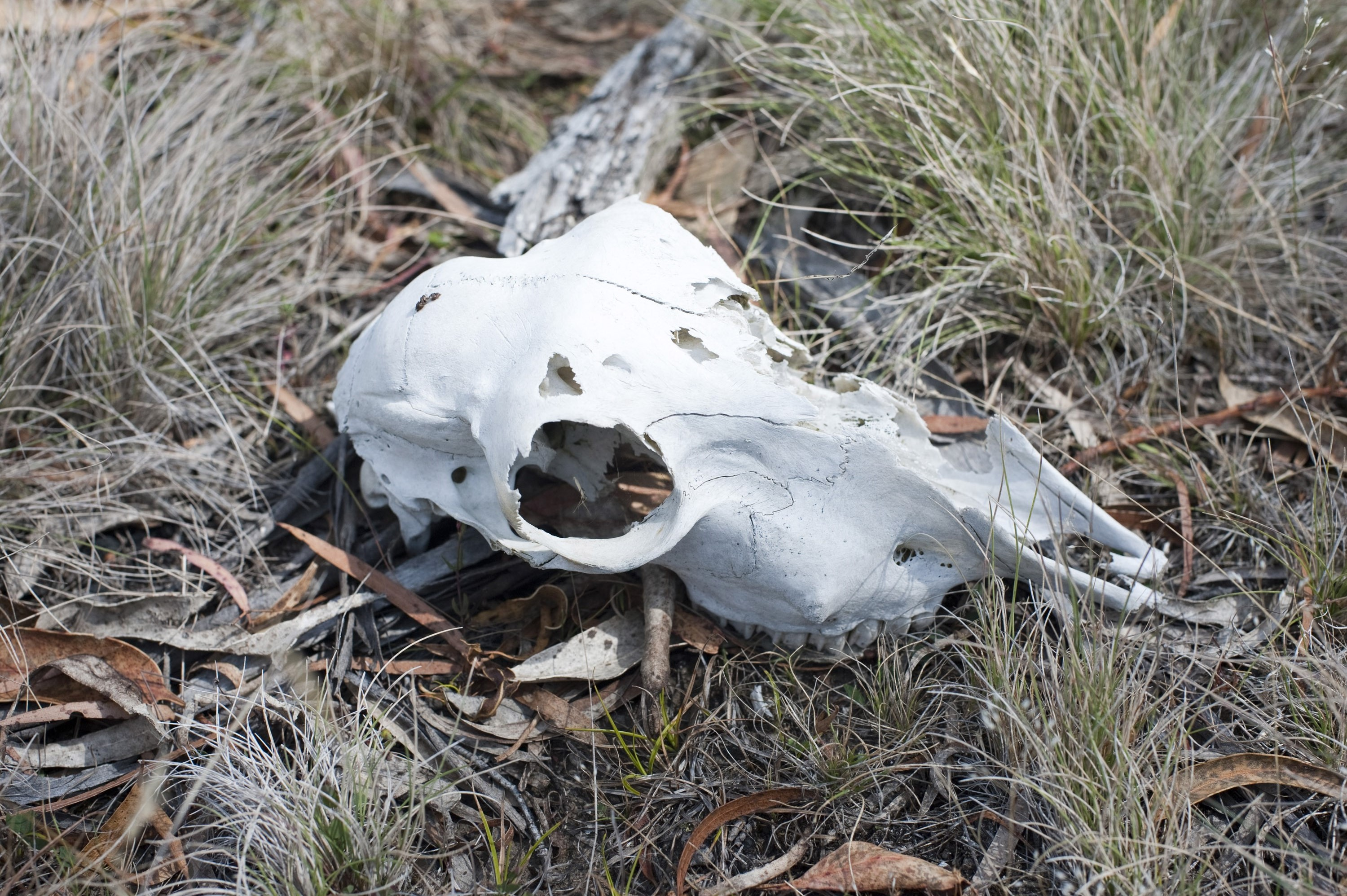 Bleached white bones of an animal skull lying on the ground, a victim of predation or death by disease or natural causes