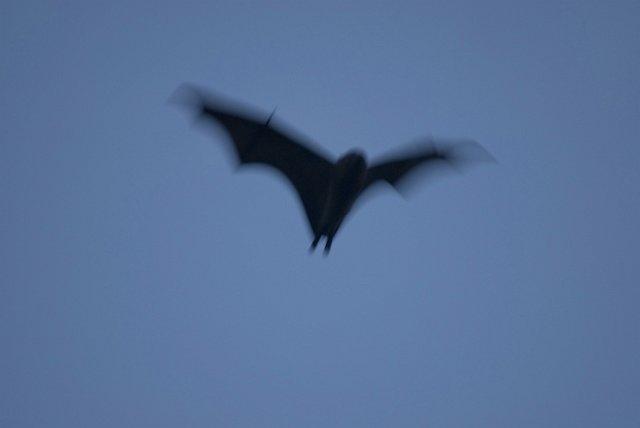 flyingbats_DSC3014.jpg